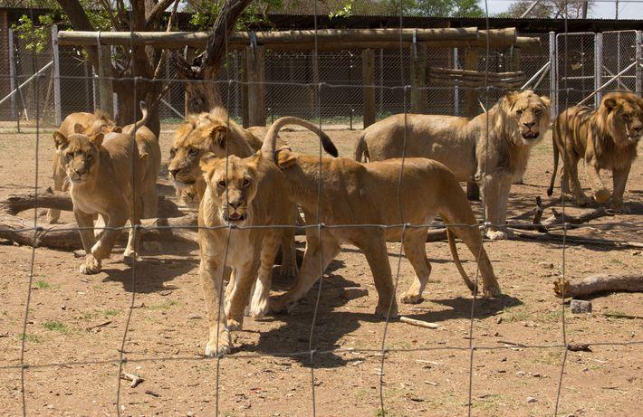 Leões em jaulas em um criadouro não identificado na África do Sul. Cerca de 8 mil ...