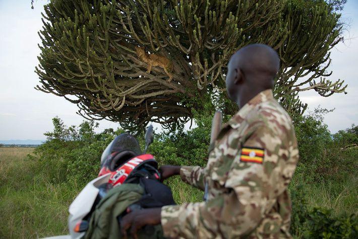 Leoa no Parque Nacional Queen Elizabeth, Uganda