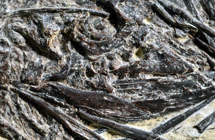 O lagarto pré-histórico Indrasaurus wangi, visto aqui em uma imagem aproximada do fóssil, foi batizado em ...