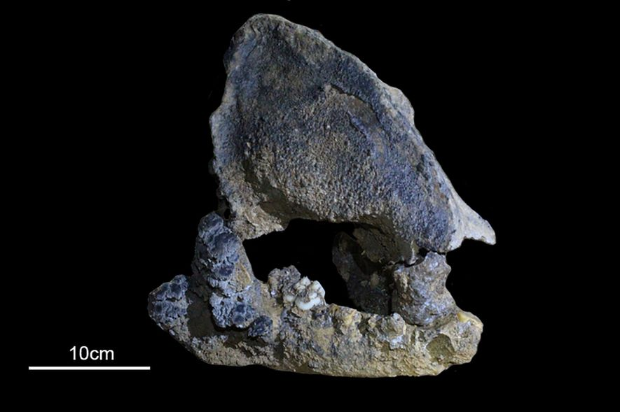 Este maxilar fossilizado vem de um parente do panda-gigante que viveu há 22 mil anos.