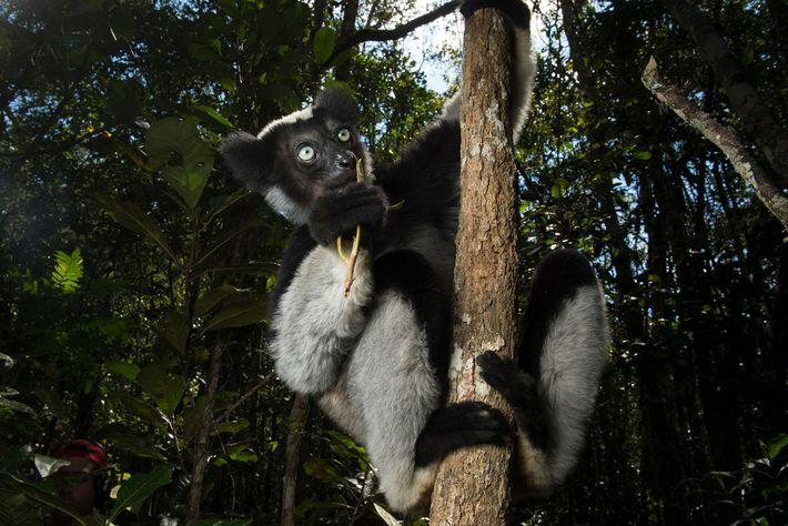 O indri, espécie perigosamente ameaçada, evoluiu separadamente de outros lêmures por 19 milhões de anos. É ...