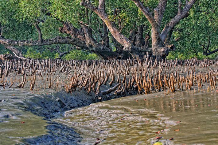 O mangue forma uma proteção contra tempestades violentas e a elevação do nível do mar. Com ...