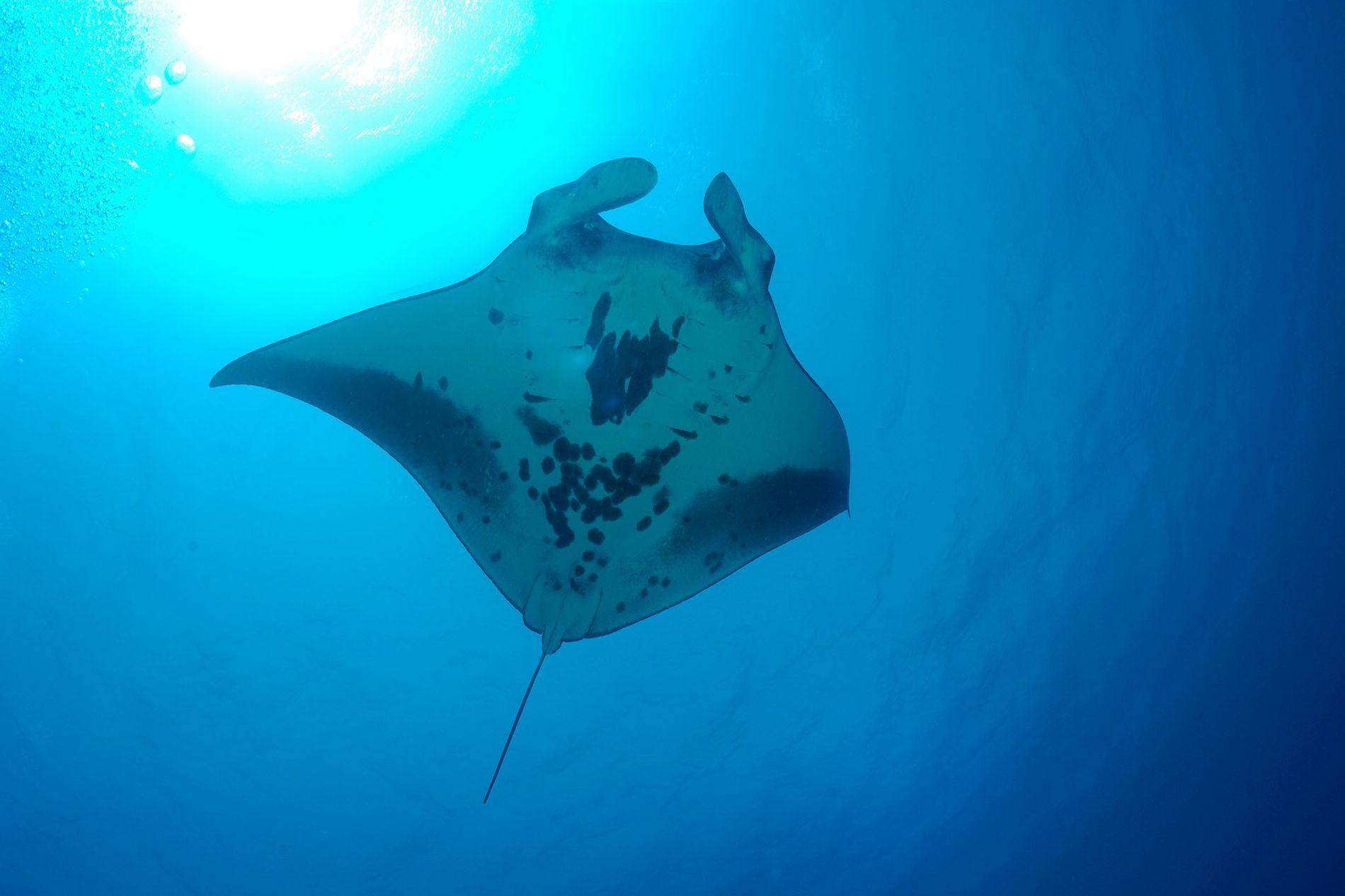 Raia-manta gigante nada no recife Kingman, em ilhas remotas do Pacífico.