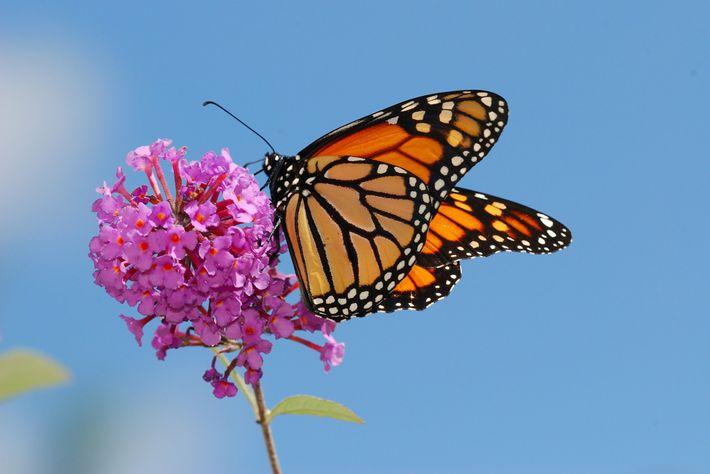 Flores ricas em néctar são importantes para que as monarcas continuem vivas. E as asclépias, as ...