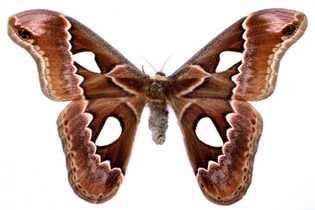 Grandes asas traseiras lobadas, como as desta Rothschildia erysina, são outra estratégia de defesa anti-morcegos desenvolvida ...