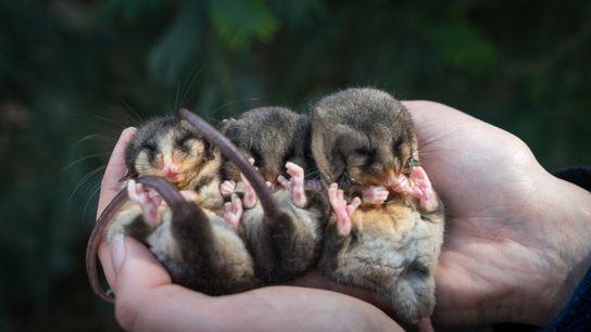Na primavera, os tratadores de um zoológico australiano aquecem os machos do gambá-pigmeu-da-montanha para ajudá-los a ...