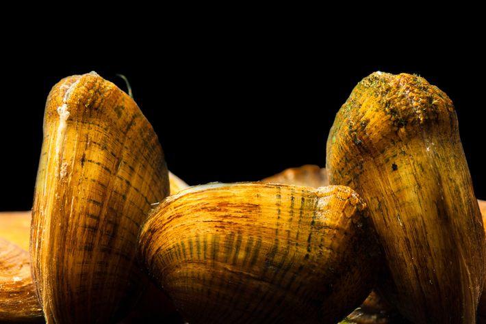 O mexilhão da espécie Epioblasma brevidens, em risco de extinção, aparece nesta foto em Viveiros de ...