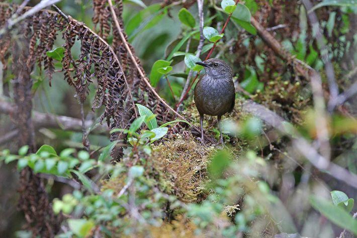 Os cientistas estão particularmente preocupados com a felosa-malhada-de-taliabu, cujo habitat pode ter diminuído para apenas alguns ...