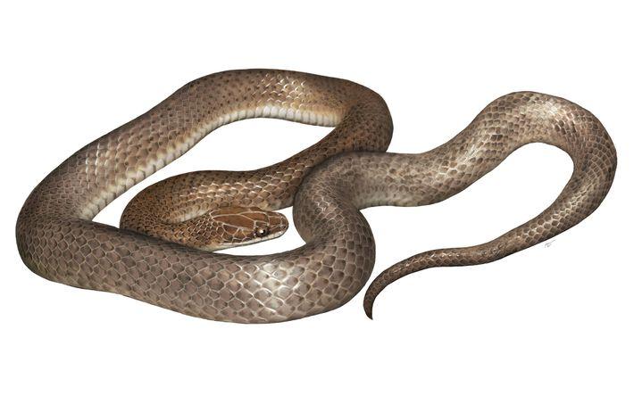 """Representação da nova espécie, Cenaspis aenigma, que significa """"misteriosa cobra-jantar."""""""