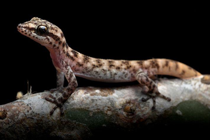 A lagartixa da espécie Phyllodactylus maresi foi descrita como única, mas anteriormente acreditava-se que era uma ...