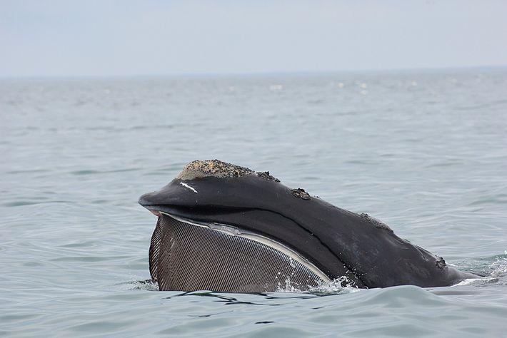 Uma baleia-franca-do-atlântico-norte sobe à superfície em Cape Cod, Massachusetts.