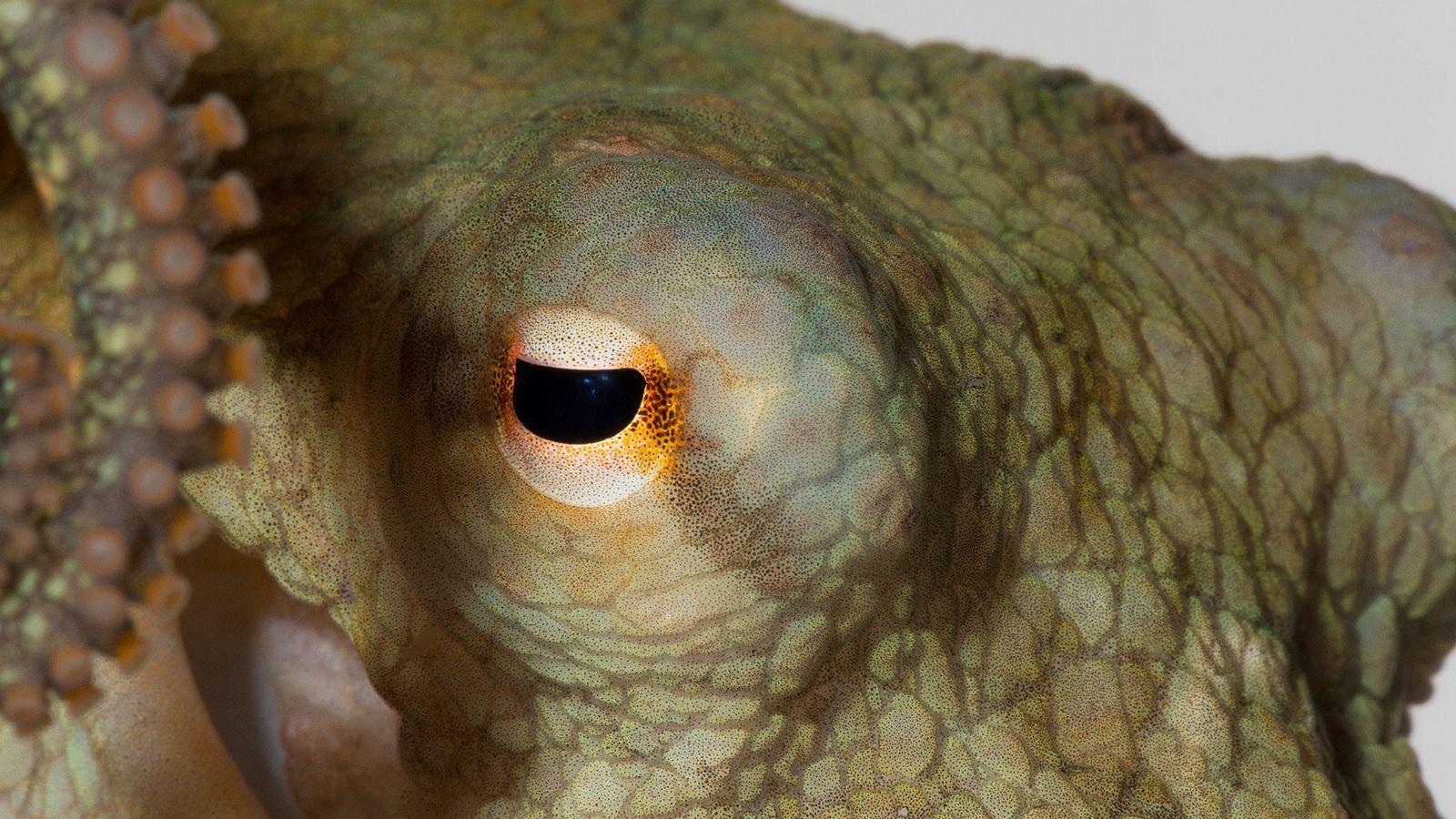 Um polvo-da-Califórnia, como os que participaram do experimento recente.