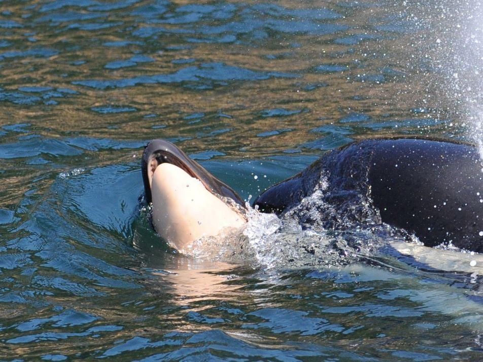 Luto de orca deixa em evidência a complexidade de emoções desses animais