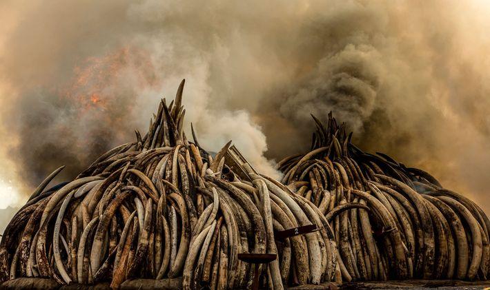 Oficiais de conservação da vida selvagem do Quênia destruíram mais de 105 toneladas de marfim em ...