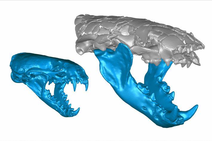 Duas reconstruções 3D mostram o maxilar da lontra comum que tem aproximadamente 7 quilos (à esquerda) ...