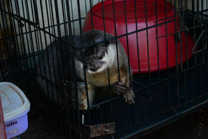 Para manterem-se saudáveis em cativeiro, as lontras precisam de alimentos especializados. Alimentada com ração para cachorro ...