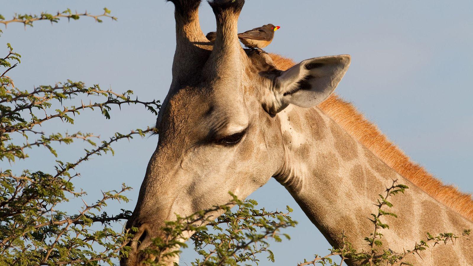 pica-bois-girafas