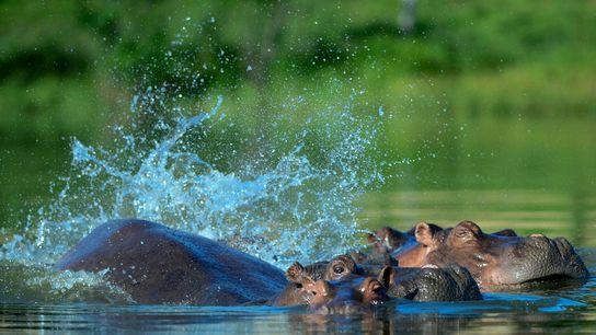 Os quatro hipopótamos originais de Pablo Escobar geraram um bando com diversas dezenas.