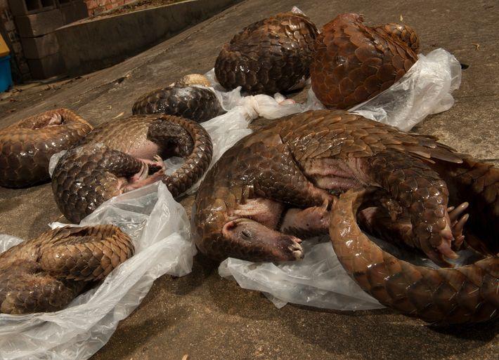 Esses seis pangolins-malaios foram apreendidos em um imóvel alugado em Guangzhou, China. Os pesquisadores dizem que ...