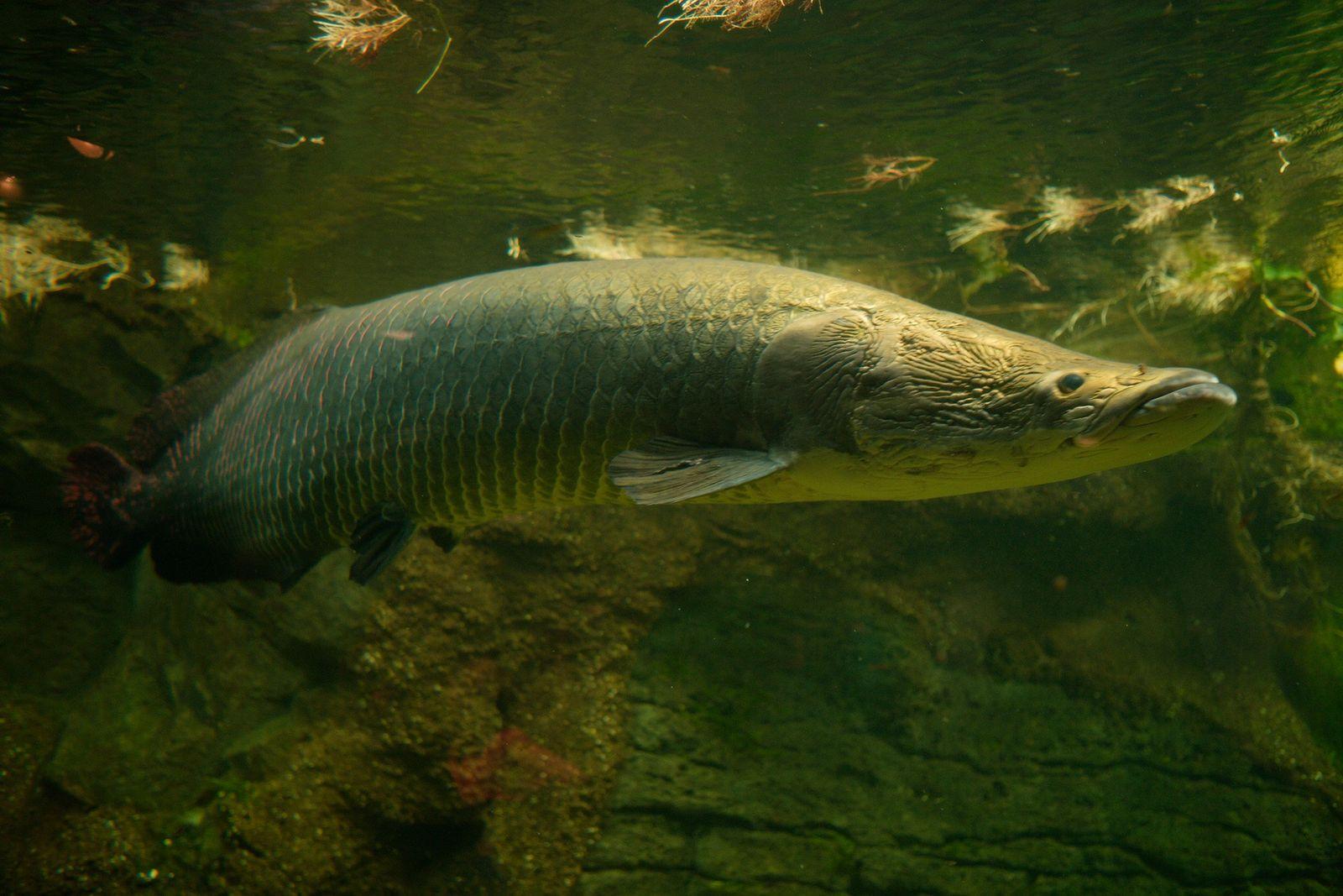O pirarucu, encontrado na bacia do Rio Amazonas, é um dos maiores peixes de água doce ...
