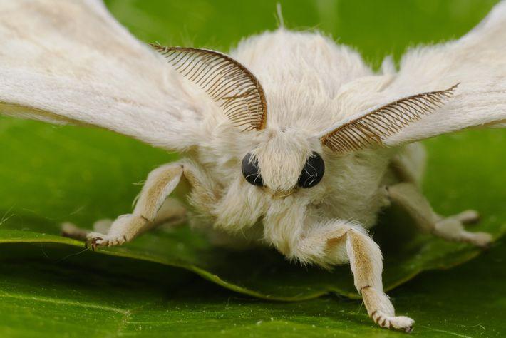 Os receptores localizados nas antenas de um bicho-da-seda macho captam os feromônios da fêmea.