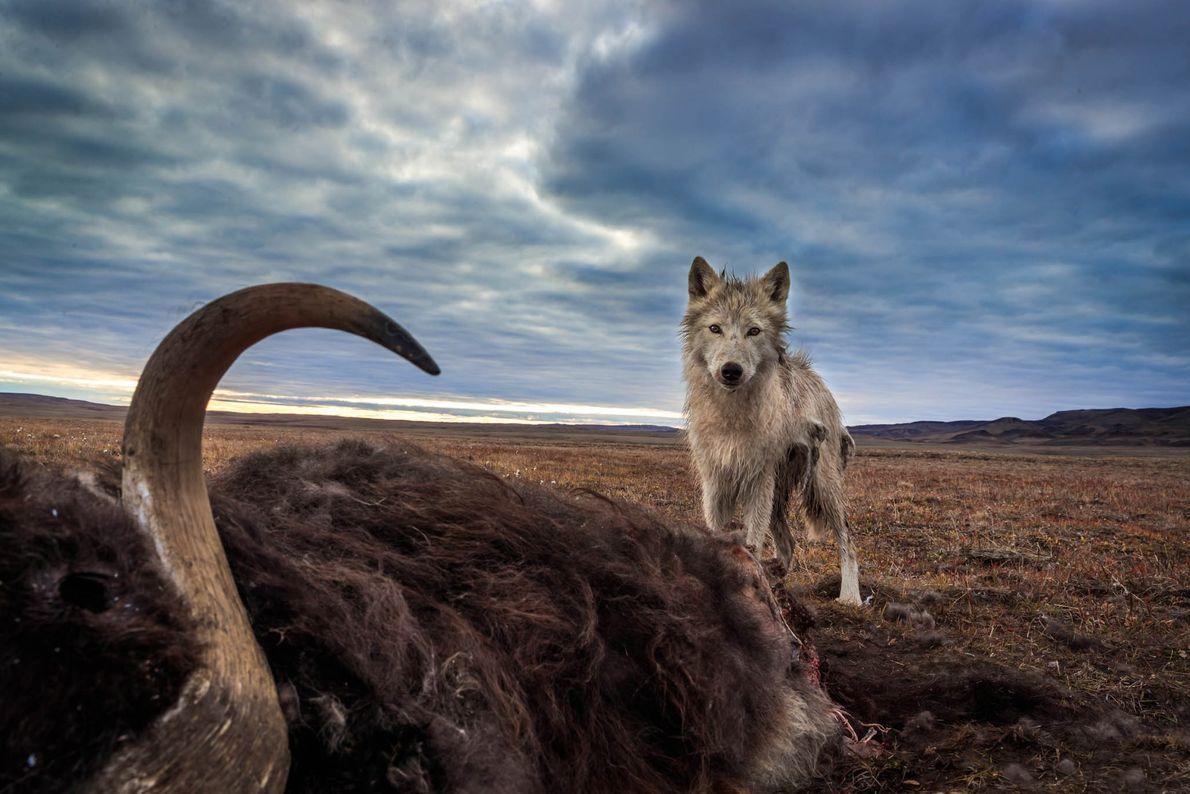 Lobo-do-ártico analisa um boi-almiscarado morto, sua principal presa. O boi-almiscarado foi morto por outro predador e ...