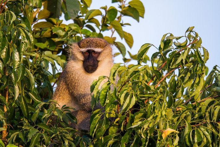 Os macacos-vervet, que normalmente habitam a África oriental, são um dos principais alvos dos caçadores.
