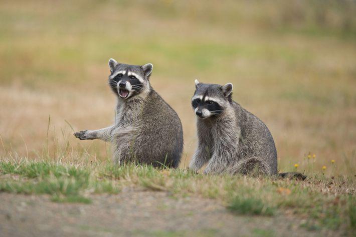 A raiva pode infectar qualquer mamífero, mas certas espécies como guaxinins, gambás, morcegos, raposas e coiotes ...