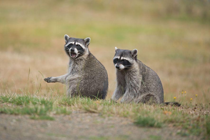 A raiva pode infectar qualquer mamífero, mas certas espécies como guaxinins, gambás, morcegos, raposas e coiotes agora servem como hospedeiros do vírus na natureza.