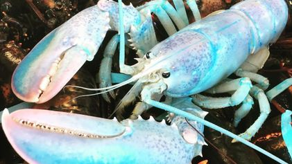 Por que esta lagosta rara parece ser feita de algodão doce azul?
