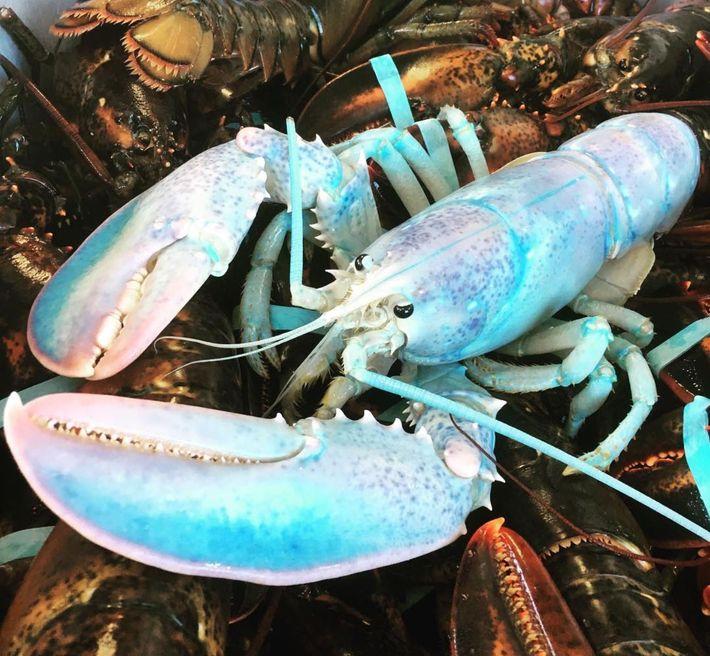 Um pescador de lagosta teve uma surpresa colorida ao tirar sua armadilha da água na Ilha ...