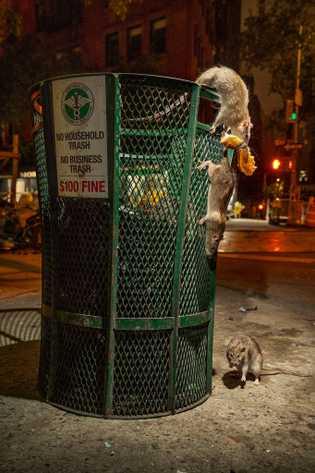 Ratos atacam uma lata de lixo na baixa Manhattan antes da pandemia de coronavírus. Normalmente, os ...