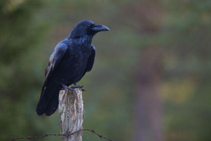 evolucao-dos-corvos