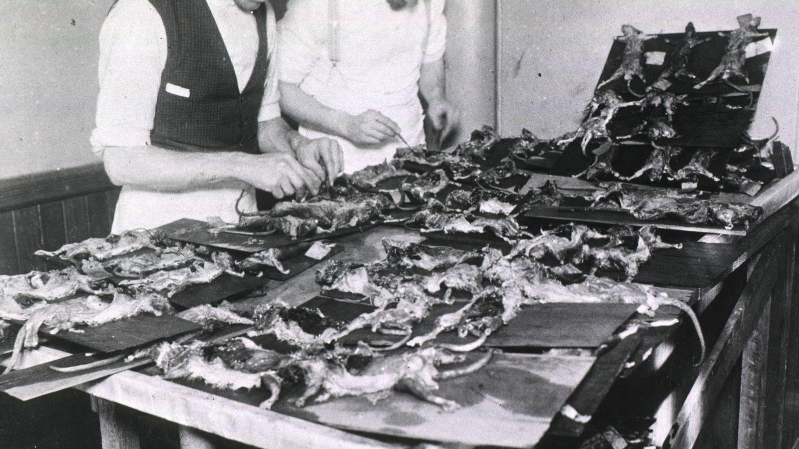 Dissecar ratos no início do século 20 foi fundamental para rastrear a propagação da peste bubônica, ...