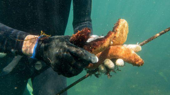 Pepinos-do-mar são uma iguaria na culinária chinesa, alcançando preços exorbitantes. A demanda crescente resultou na propagação ...