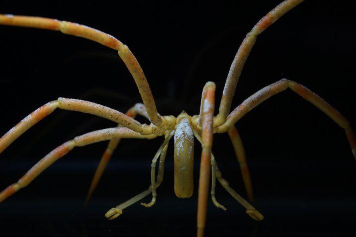 Uma das maiores espécies de aranhas-do-mar da Antártida (Colossendeis australis) tem manchas incrustantes de briozoários brancos, ...