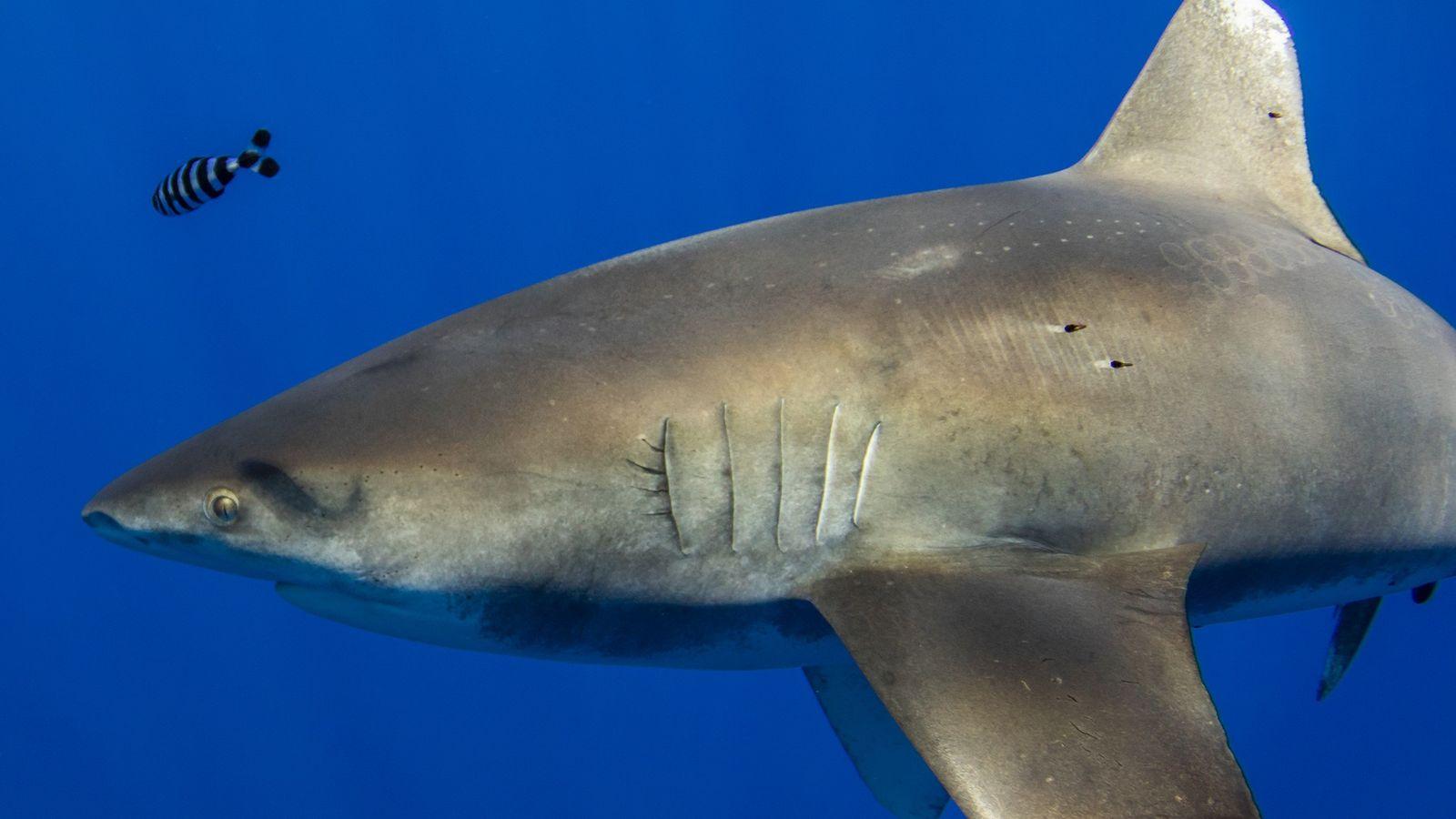 Um tubarão-galha-branca-oceânico de mais de dois metros de comprimento carrega marcas de sucção do tamanho de ...
