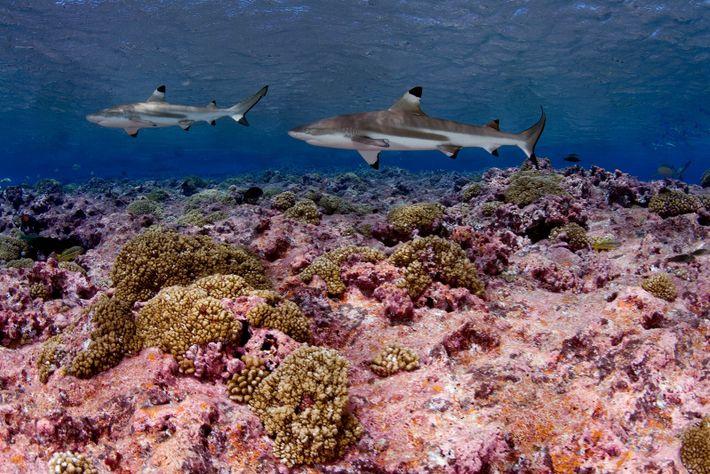 Tubarões-galhas-pretas-de-recife nadam perto de Kirabati, no Oceano Pacífico.
