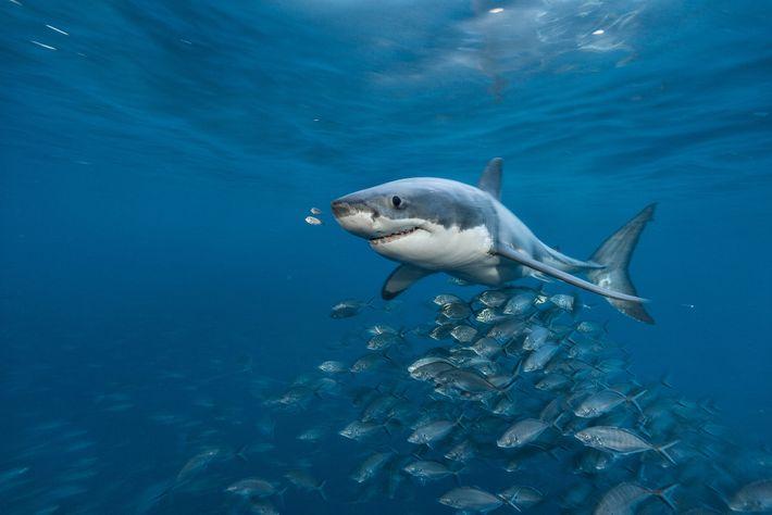 Um grande-tubarão-branco nada perto das Ilhas Netuno, no sul da Austrália. Cientistas acreditavam que esses predadores ...