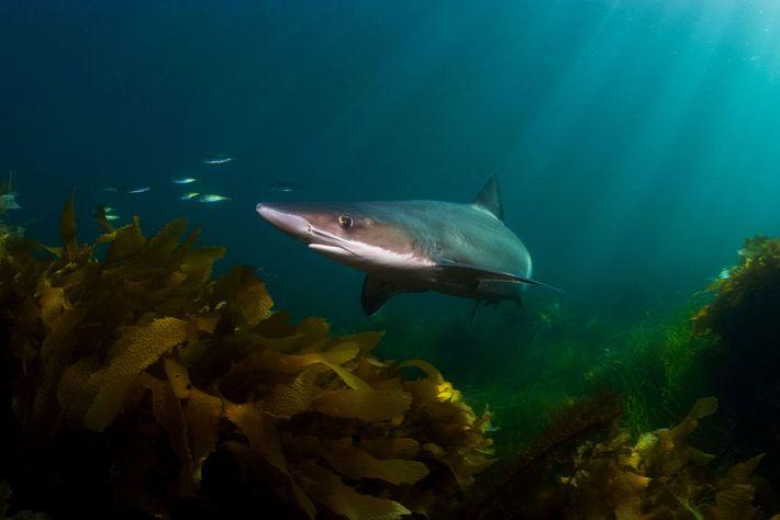 Os tubarões-vitamínicos, também conhecidos como cações-bico-doce, são pescados tanto por suas barbatanas quanto pelo óleo de ...