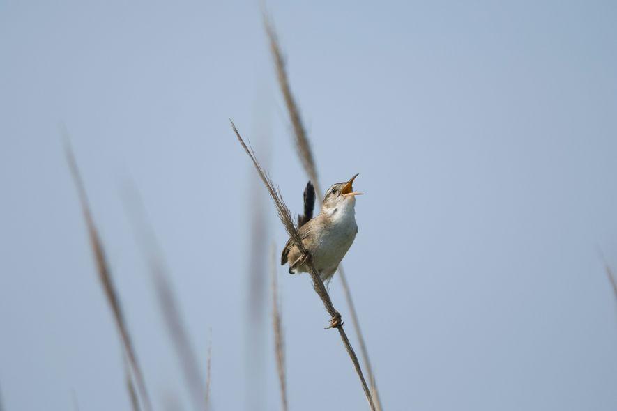 Um pássaro da espécie Cistothorus palustris canta sobre o capim na Ilha Money de Nova Jersey.