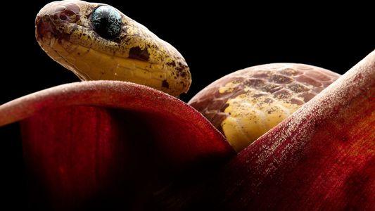 Descobertas novas espécies de cobras que sugam caramujos de suas cascas