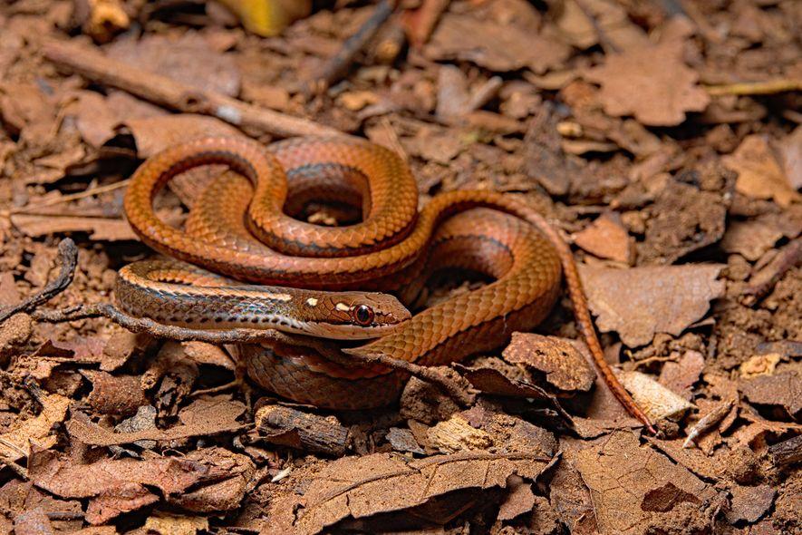 Serpentes da espécie Rhadinaea decorata foram intensamente atingidas pelo quitrídio — houve 13 avistamentos desses répteis ...