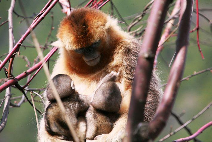 Os pesquisadores na China vinham estudando esses macacos havia vários anos quando perceberam uma mãe alimentando ...