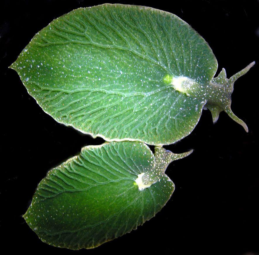 Essas lesmas marinhas parecem pequenas folhas e estão se tornando muito difíceis de encontrar.