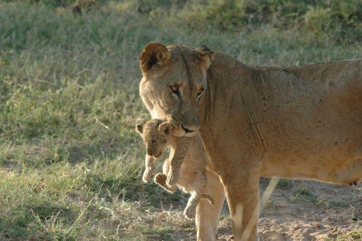 Essa mãe leoa, chamada Uni, é um dos leões solitários do norte do Quênia.