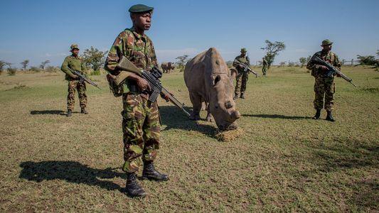 Após a morte do último macho, o rinoceronte-branco-do-norte está condenado?