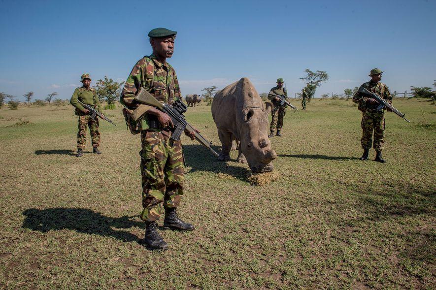 O animal foi trazido para o Quênia de um zoológico na República Tcheca, como parte de ...
