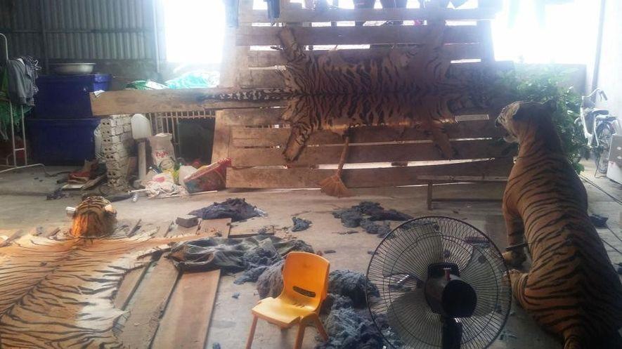 Os investigadores infiltrados da Comissão de Justiça para a Vida Selvagem visitaram uma casa no Vietnã ...