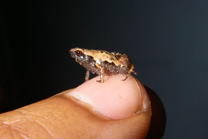Um macho adulto de Mini mum, um dos menores sapos do mundo, repousa em uma unha ...